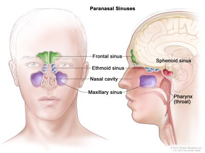 Paranasal sinuses in the human head